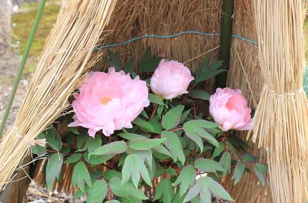 祐徳稲荷神社の日本庭園で咲いていた寒牡丹