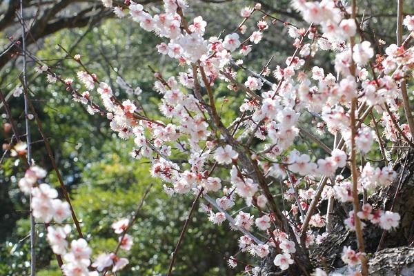 好隣梅に咲く梅の花