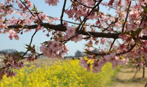 五ヶ瀬川の堤防に植えられている河津桜と菜の花