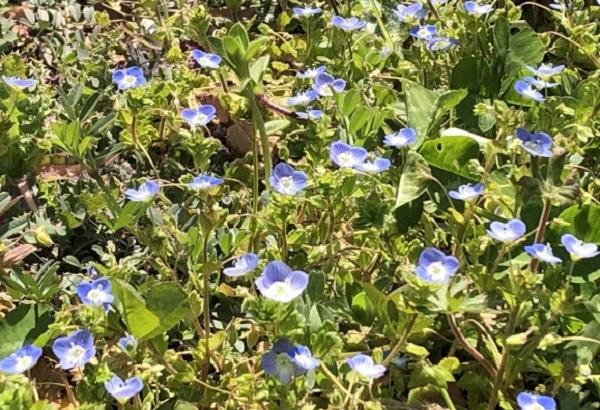 野原で咲いてるオオイヌノフグリの写真