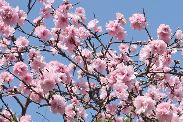 ピンクの満開のハナモモの写真