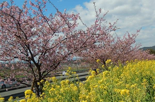河津桜(カワヅザクラ)の全体像、菜の花と一緒に咲いてる河津桜の写真