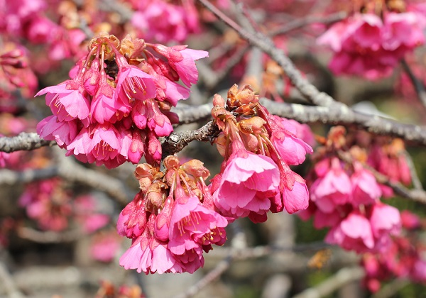 美しく咲く寒緋桜(カンヒザクラ)の花の写真