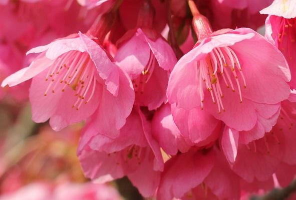 寒緋桜(カンヒザクラ)のアップ、下から覗き込んだ様子の写真