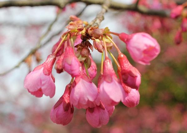 寒緋桜(カンヒザクラ)の蕾の写真