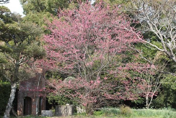 大きく成長した寒緋桜(カンヒザクラ)の木の写真