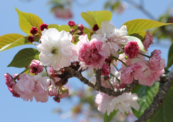 オオムラザクラの花の様子の写真
