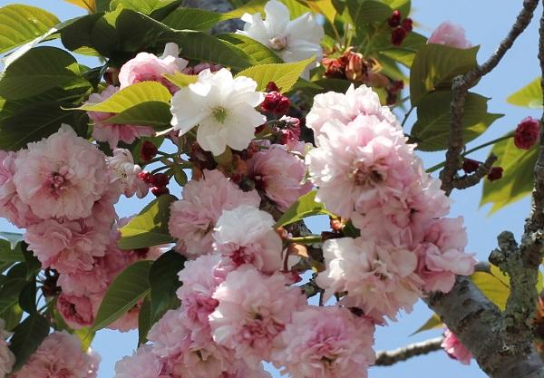 オオムラザクラ、赤花と白花の写真