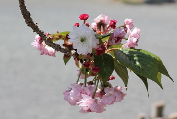 オオムラザクラのユニークな花姿の写真
