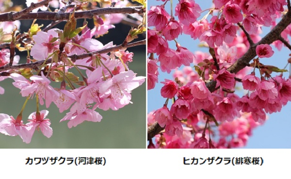 河津桜(カワヅザクラ)と寒緋桜(カンヒザクラ)の比較写真