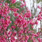 カンヒザクラ(寒緋桜)の写真