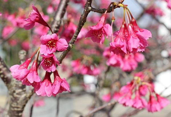 寒緋桜(カンヒザクラ)の花の様子の写真