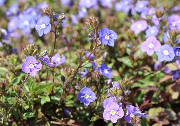 ベロニカジョージアブルーが咲いてる様子の写真