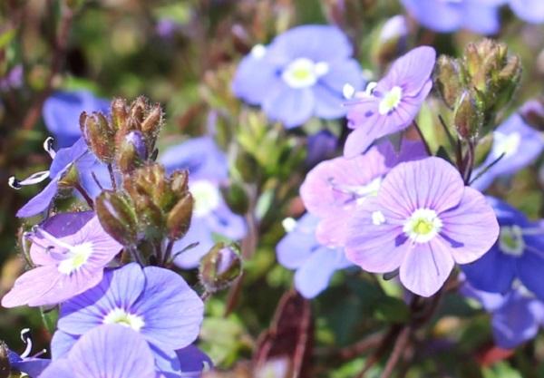 ベロニカジョージアブルーの花、アップ写真
