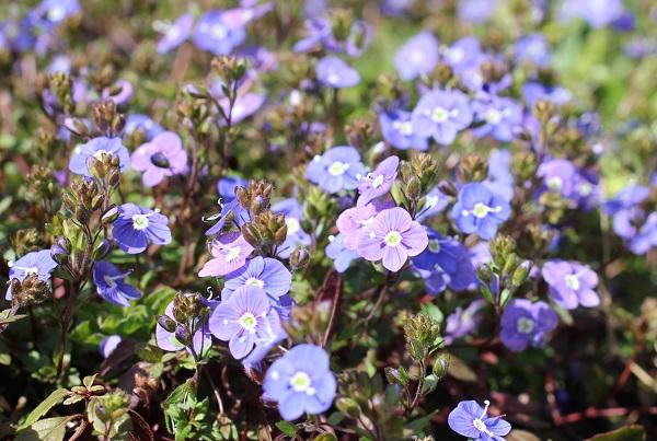 ベロニカジョージアブルーが満開、花壇で咲いてる様子の写真