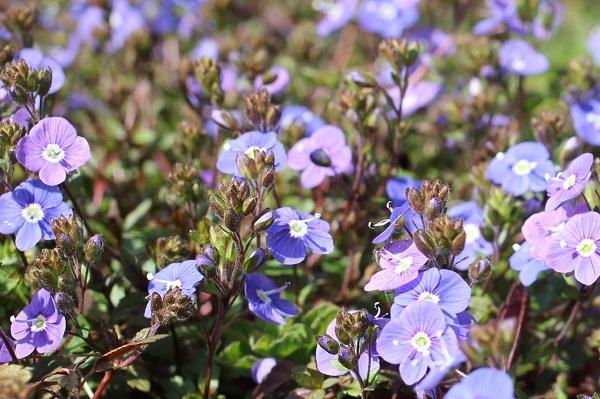 ベロニカジョージアブルーの花がたくさん咲いてる様子の写真