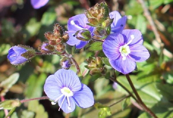 ベロニカジョージアブルーの花や蕾のアップ写真