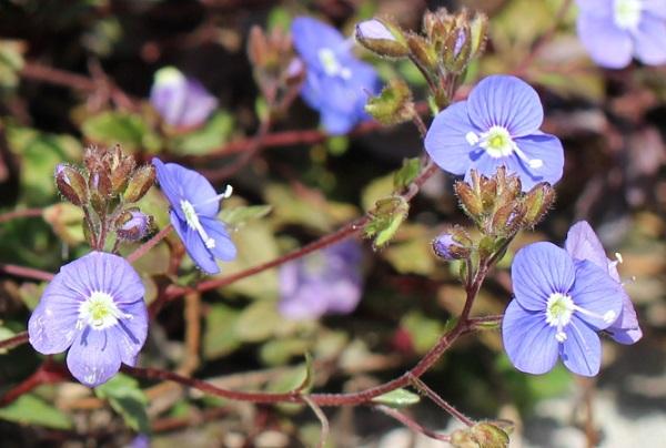 茎を長くのばしたベロニカジョージアブルーの花の写真