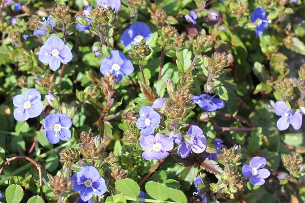 雑草と混じって咲くベロニカジョージアブルーの写真
