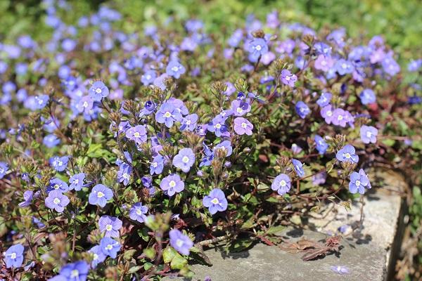 ベロニカジョージアブルーが花壇で咲いてる様子の写真