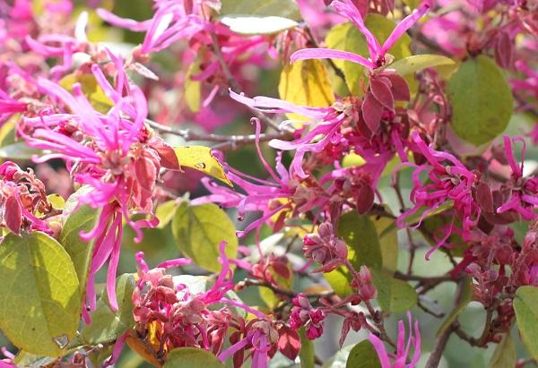 ベニバナトキワマンサク(紅花常磐万作・満作)の花の様子の写真
