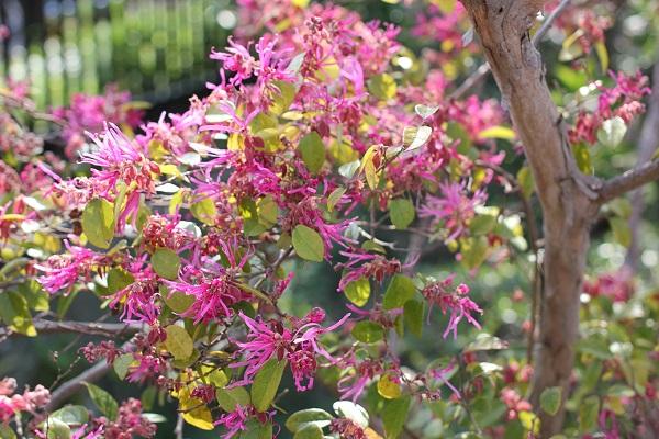 ベニバナトキワマンサク(紅花常磐万作・満作)が咲いてる様子の写真