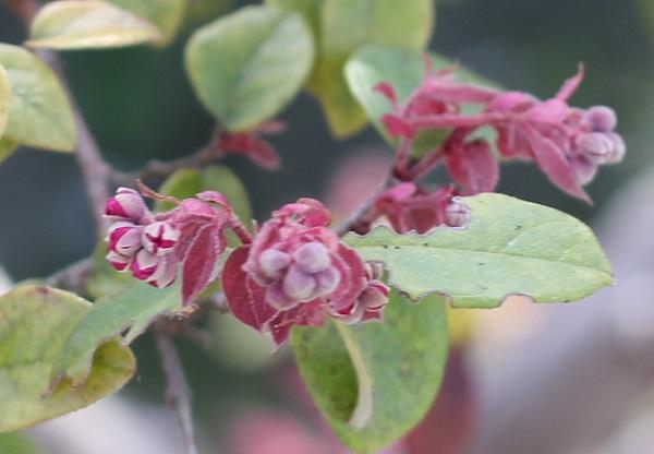 ベニバナトキワマンサク(紅花常磐万作・満作)の新芽と蕾の写真