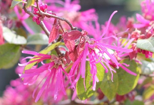 ベニバナトキワマンサク(紅花常磐万作・満作)の花の写真