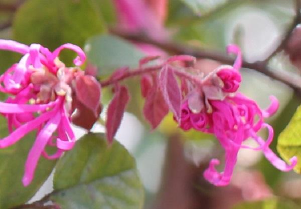 ベニバナトキワマンサク(紅花常磐万作・満作)、蕾から開花を始めた様子の写真