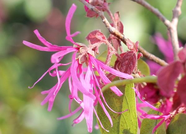 ベニバナトキワマンサク(紅花常磐万作・満作)の花、アップの写真