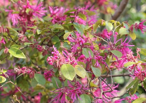 緑葉が目立つベニバナトキワマンサク(紅花常磐万作・満作)の様子の写真