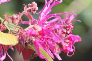 ベニバトキワマンサクの美しい花の写真