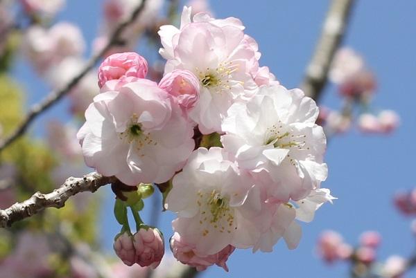 ハナモモと同じ時期に見かけた綺麗なヤエザクラの花の写真