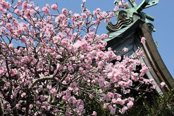 満開のピンクのハナモモ(花桃)の写真
