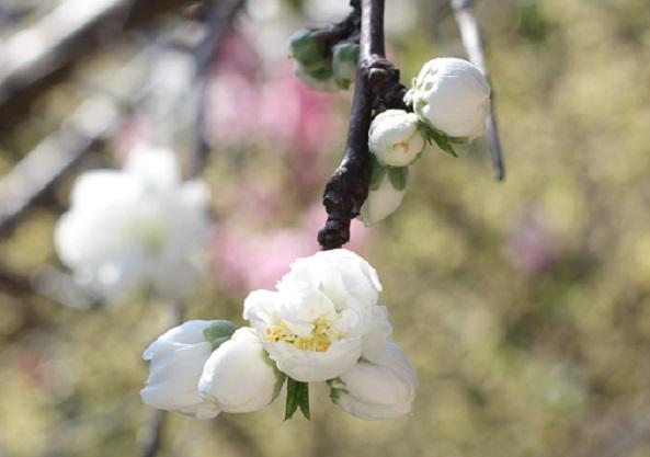 白いハナモモの蕾や咲き始めた花の様子の写真