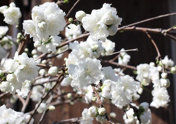 純白のハナモモの写真