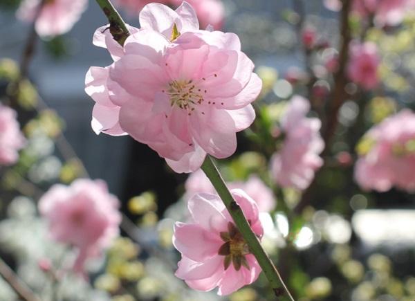 枝にぴったりついてるように咲いてるハナモモの花の写真