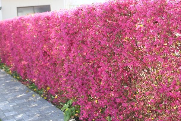 ベニバナトキワマンサク(紅花常磐万作・満作)の生垣の写真