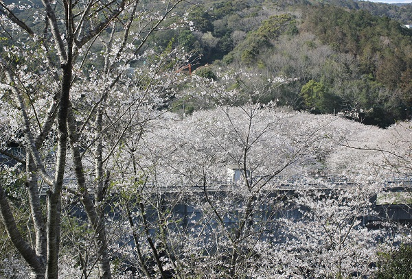 長崎市三京町ダム、橋とサクラの景色の写真