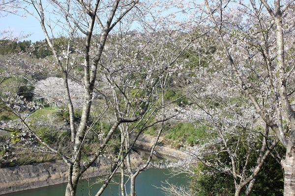 長崎市三京町ダムとサクラの写真