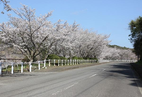 長崎市三京町ダム周辺、県道115号とサクラ並木の写真