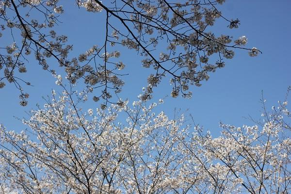 青空と満開のソメイヨシノの花の写真