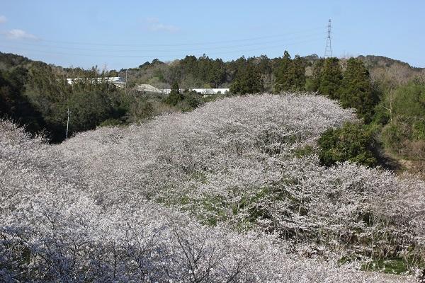 国道から見た、桜の様子の写真