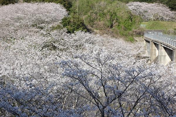 三京町のダム周辺に咲き誇る桜、ソメイヨシノの花の写真