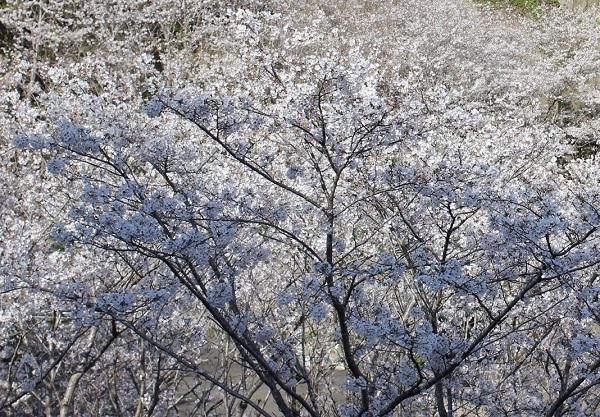 満開で、桜色一色になったソメイヨシノの写真
