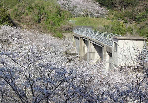 長崎市三京町ダムの橋と、満開のソメイヨシノの写真