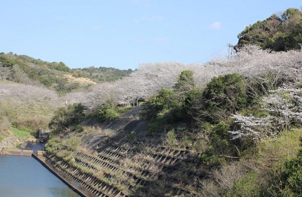 長崎市三京町ダムと周辺のサクラの写真