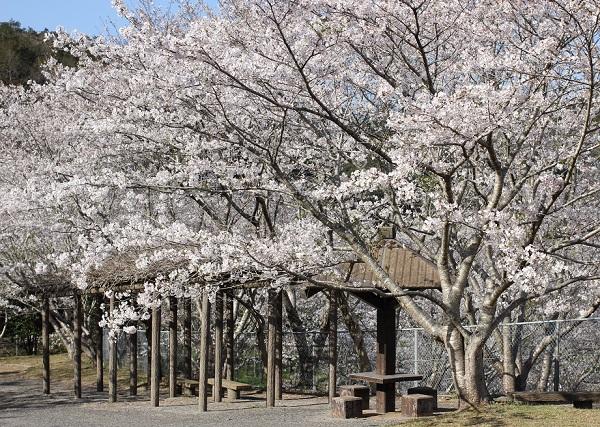 長崎市三京町ダムの休憩所、桜とベンチの写真