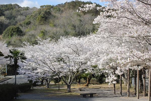 長崎市三京町ダムにある休憩所とソメイヨシノの写真