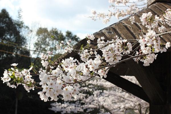 休憩所の東屋の屋根とソメイヨシノの花の写真